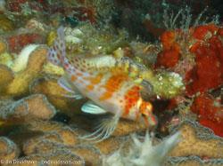 BD-060409-Moalboal--Cirrhitichthys-falco.-Randall.-1963-[Dwarf-hawkfish].jpg
